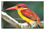 Title: Rufous-Backed Kingfisher