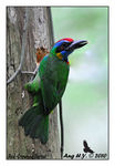 Title: Red-Crowned Barbet