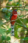 Title: Red-Headed Trogon (Male)