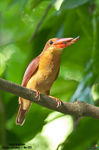 Title: Ruddy Kingfisher