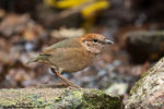 Title: Rusty-Naped Pitta