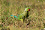 Title: Rose-Ringed Parakeet (Male)