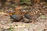 Title: Rufous-Throated Partridge