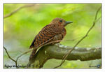 Title: Rufous Woodpecker (Male)
