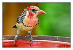 Title: Red & Yellow Barbet
