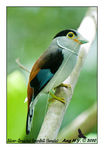 Title: Silver-Breasted Broadbill (Female)