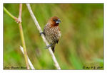 Title: Scaly-Breasted Munia