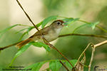 Title: Scaly-Crowned Babbler