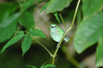 Title: Spotted Tanager