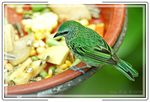 Title: Spotted Tanager 2