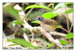 Title: Short-tailed babbler
