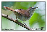 Title: Pin-Striped Tit Babbler