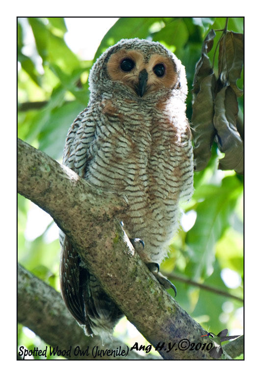 Spotted Wood Owl (Juvenile)