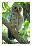Title: Spotted Wood Owl (Juvenile)
