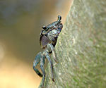 Title: Tree-Climbing Crab