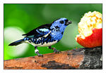 Title: Turquiose Tanager
