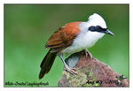 Title: white-Crested Laughingthrush