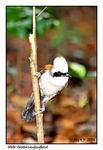 Title: White-Crested Laughingthrust