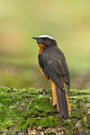 Title: White-Crowned Robin-Chat