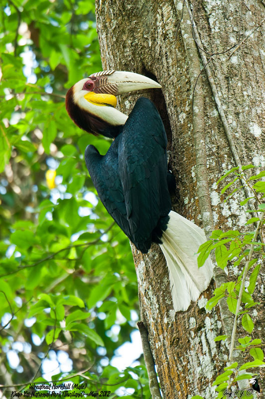 Wreathed Hornbill (Male)