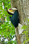 Title: Wreathed Hornbill (Male)