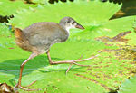 Title: White-Breasted Waterhen Chick
