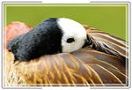 Title: White-Faced Whistling Duck