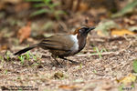 Title: White-Necked Laughingthrush