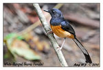 Title: White-Rumped Shama (Female)