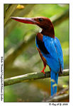 Title: White-Throated Kingfisher