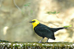 Title: Yellow-Hooded Blackbird
