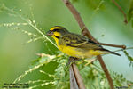 Title: Yellow-Fronted Canary (Male)
