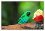 Title: Orange-Eared Tanager