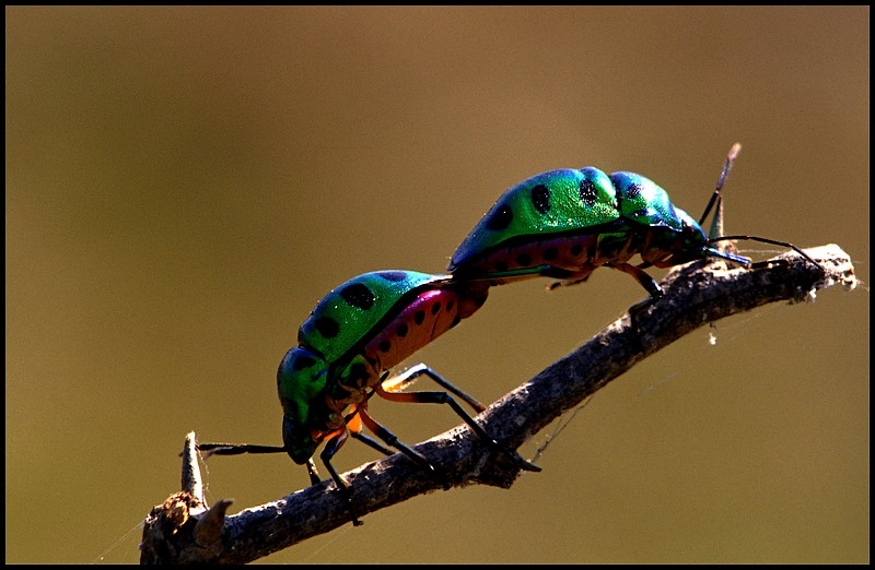 Jewel Bugs Mating
