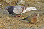 Title: Pigeon & Dove