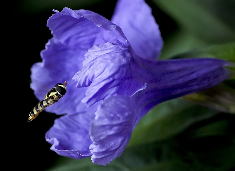 Hoverfly#2