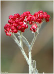 Title: Red Everlasting