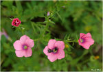 Title: Pink Flax