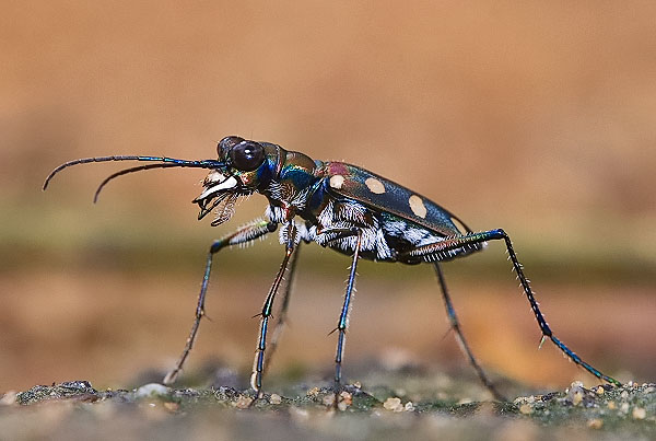 The fastest insects in the world