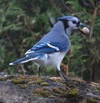 Title: Blue jay