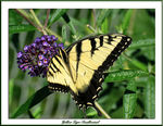 Title: Yellow Tiger