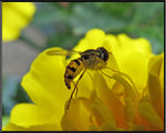 Title: Bee a Marigold