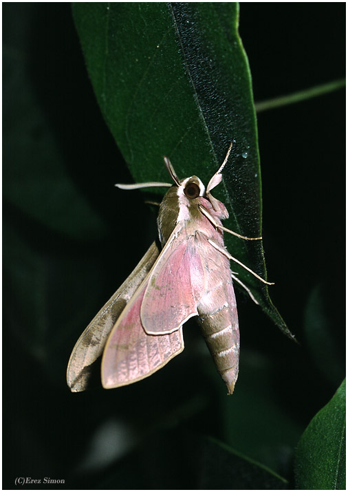 Greater Spurge hawkmoth