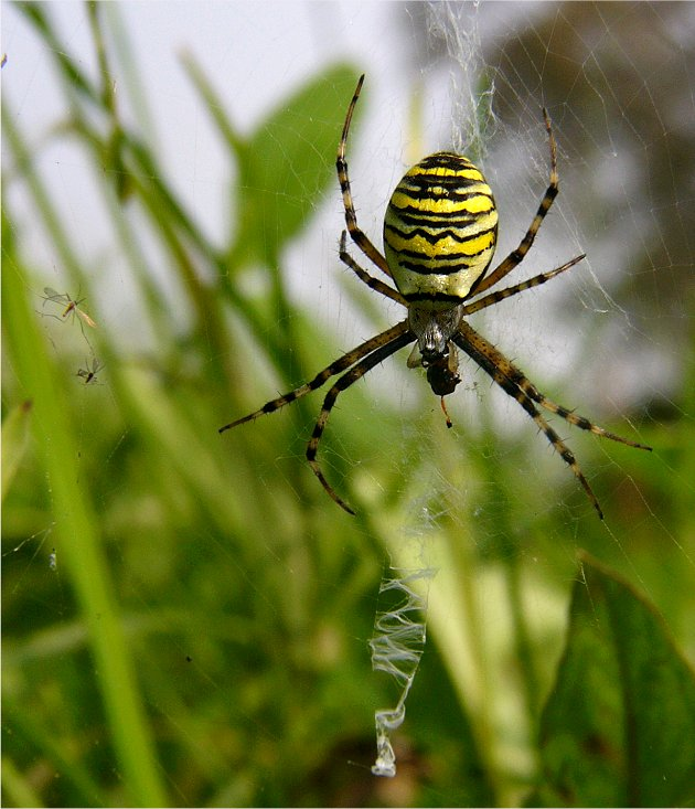 Spider in disguise