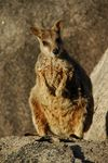Title: It's a Wallaby!
