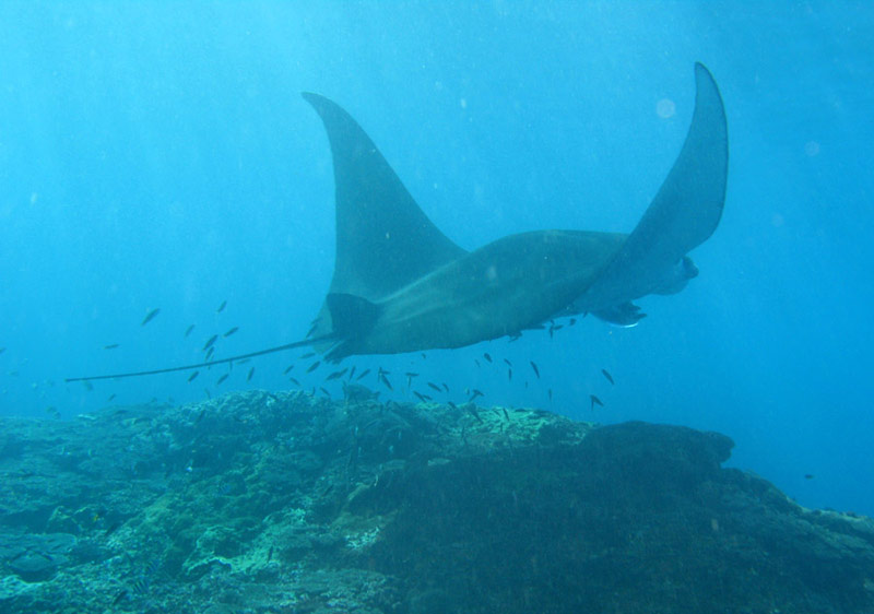 Giant Manta in Bali waters