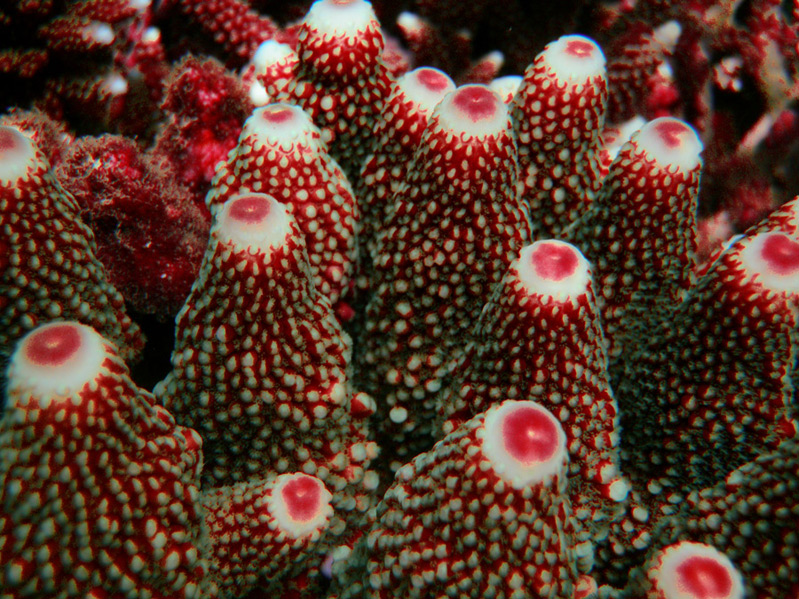 Red Nipple Coral