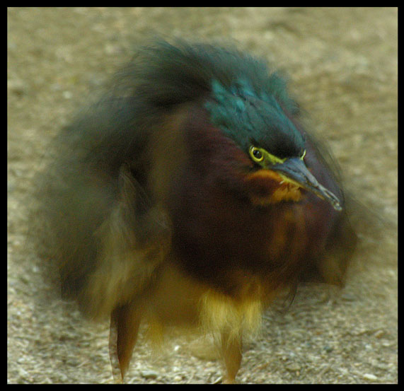 Anger Management - The Green Heron