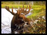 Title: Alaskan Moose - big wild dude