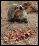 Title: American Badger (Taxidea taxus)